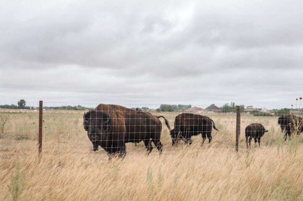 Bufflalo roaming at Wanuskewin Park, near Saskatoon