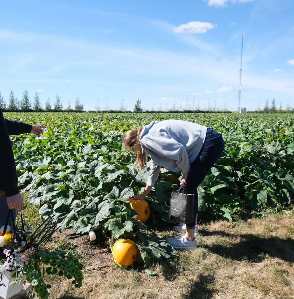 Black Fox Pumpkins in Saskatoon, Sask offer a family outing