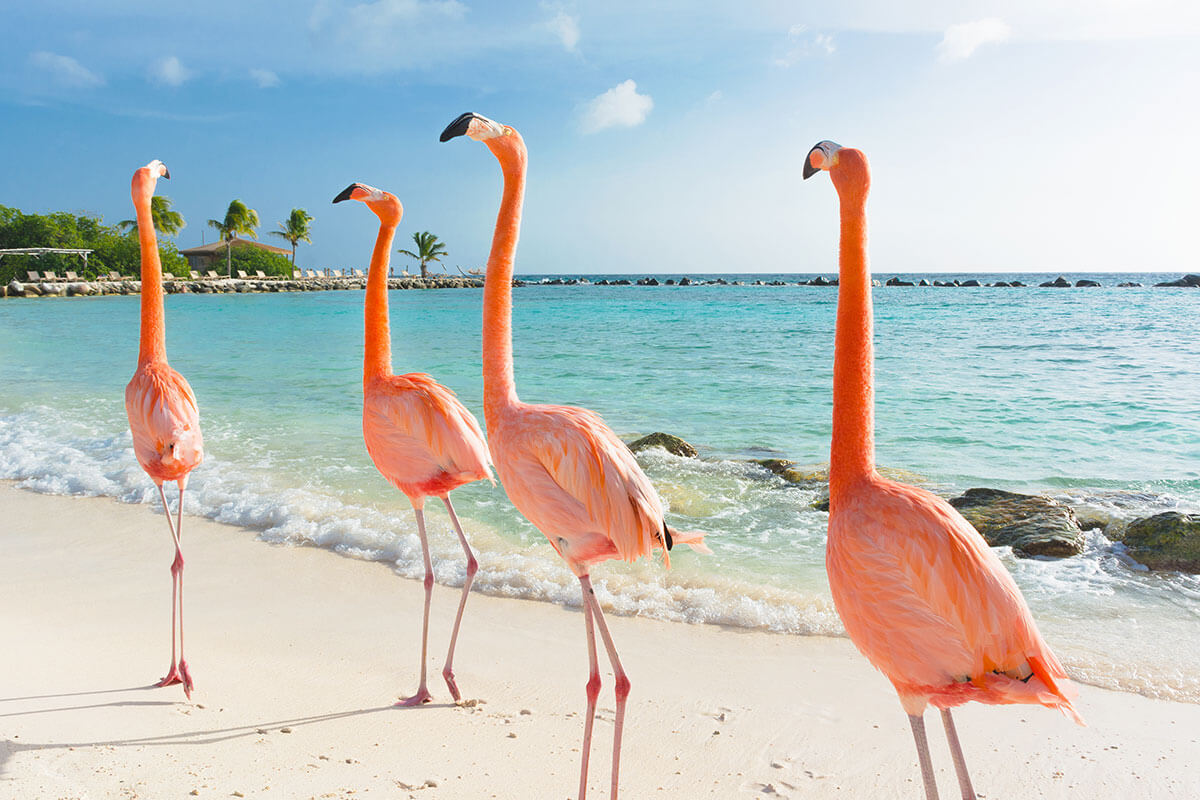 Aruba's famous pink flamingos walking on the beach, part of Toast's Islands in the Sun