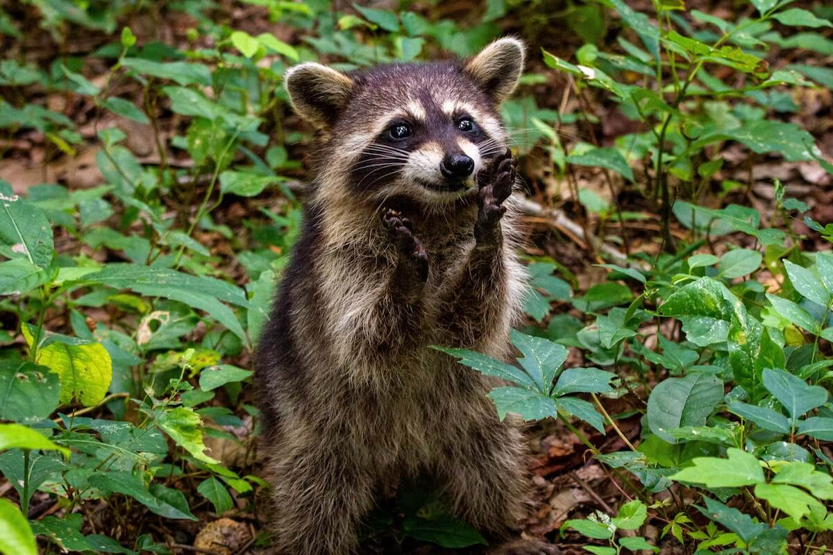 a raccoon standing in grass, one of 10 viral raccoon videos