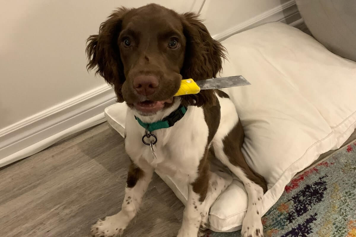 brown & white puppy with a tool in its mouth, puppy proofing your home