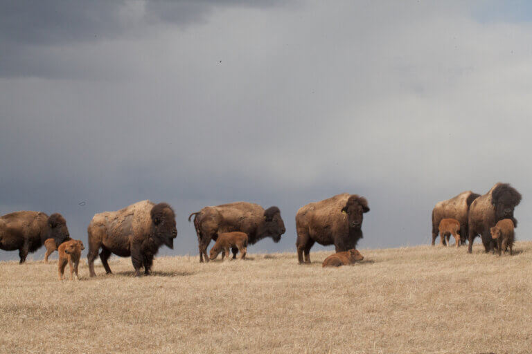 bison grazing in summer