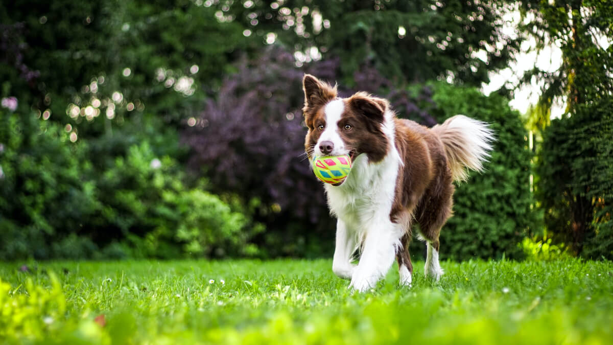 brown and white dog retrieving a ball at dallas animal services