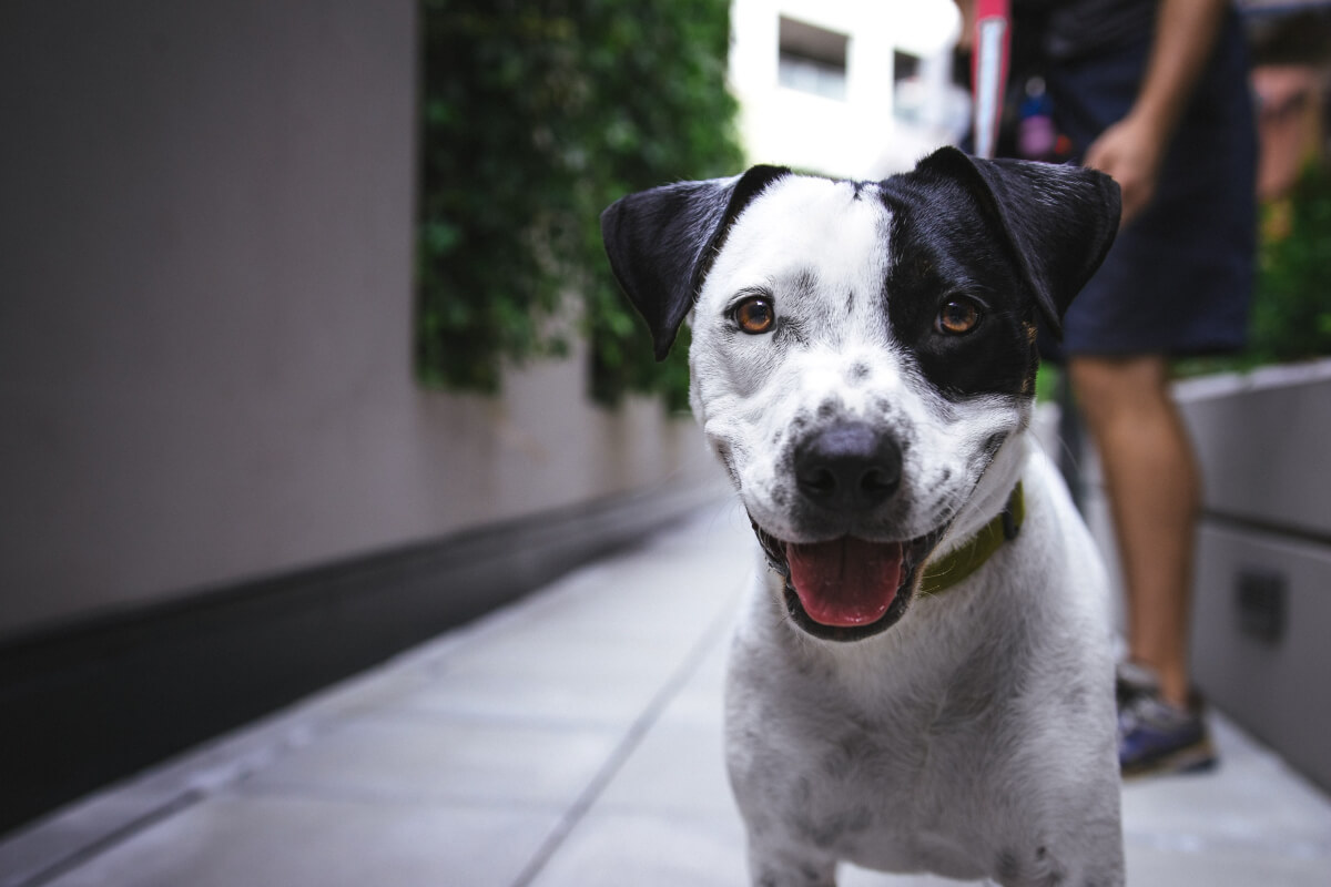 black and white dog at dallas animal services