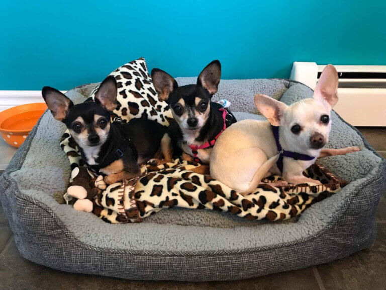 3 chihuahua dogs in a bed are seniors old dogs