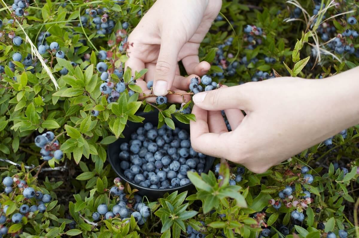 u-pick blueberries at becker farms and vizcarra vineyards