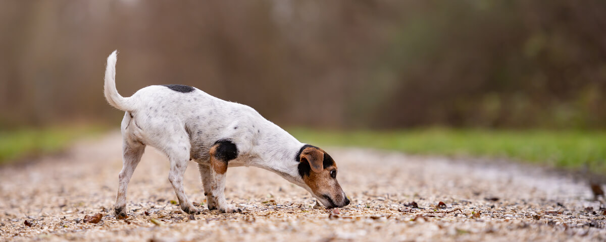 white, brown and black dog on a sniff and stroll as an alternative to dog parks