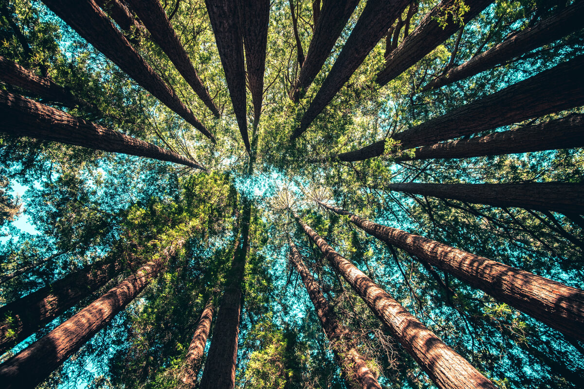 a view of healthy trees from below, a benefit of wildfire